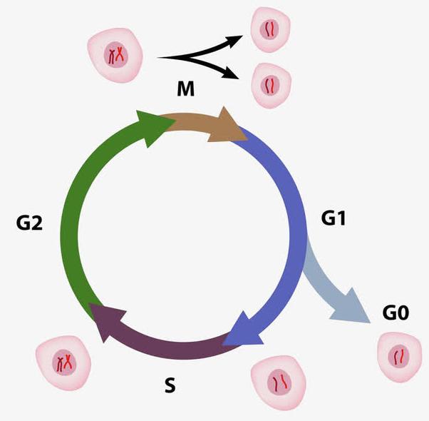 产前胎儿遗传基因筛选试验:好处与风险介绍